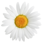White_flower_front_img